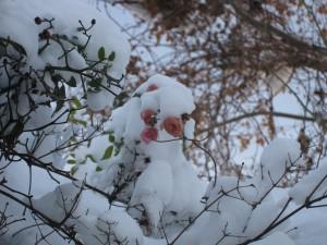 een bevroren roosje in de tuin - december