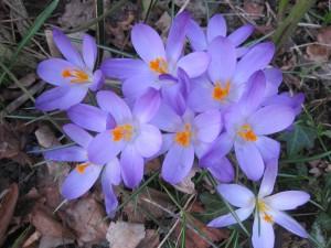 boerhaavelaan voortuin en Amaryllus 5 maart 2013 003
