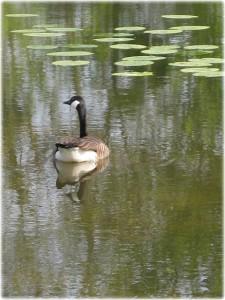 natuurbelevingsdag-Oost-Voorne-21-april-2011-gans